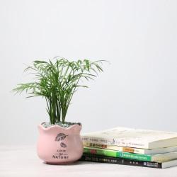 品植 袖珍椰子(陶瓷花盆)6个颜色花盆选择