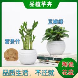 品植 常绿灌木观花观叶植物 圆柱陶瓷盆苹果盆打理盆栽