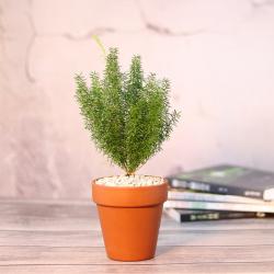 狐尾天门冬盆栽多年生常绿草本植物花园观叶绿植耐寒花卉四季常青