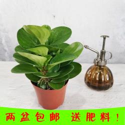 碧玉盆栽室内吸除甲醛植物花卉办公室绿植好养大碧玉