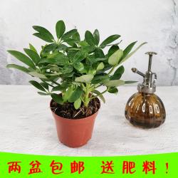 品植 混搭两盆盆栽植物室内净化空气办公室绿植花卉盆景四季常青
